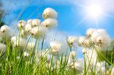 Several whites fluffes