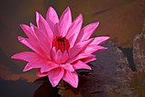 Nymphaea Red Flare - Lotus flower on a pond