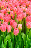 Pink tulips vertical background