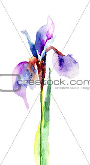 Watercolor illustration of Iris flower