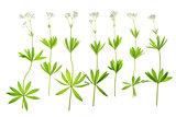 Flowering woodruff (Galium odoratum)