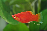 Portrait of a Red Platy