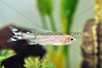 A Rummy Nose Fish
