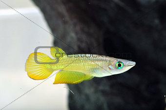 A Yellow Killi Fish