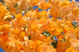 flower background - orange bougainvillea