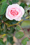 pink roses flower