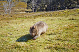 Wombat on the moove