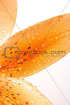Closep of Lily Leaf with Water Drops