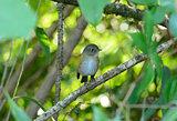 female Himalayan Bluetail (Tarsiger rufilatus)