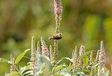 juvenile male Fire-tailed Sunbird (Aethopyga ignicauda)