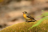 female Mugimaki Flycatcher (Ficedula mugimaki)