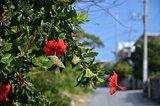 Roadside Hibiscus
