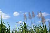 Sugar cane flowers