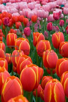 bloom of tulips