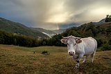 Cow and rainbow