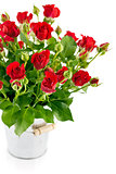Bunch red rose in bucket