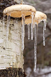 Ice coated mushrooms after an ice storm.