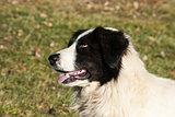 Shepherd dog head