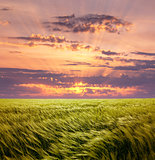 Greed Wheat Field and Beautiful Sunset Sky