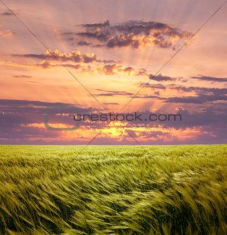 Greed Wheat Field and Beautiful Sunset Sky