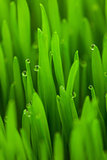 Fresh Spring Green grass with Drops / vertical