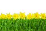Spring border / Yellow Daffodils and green grass isolated on whi