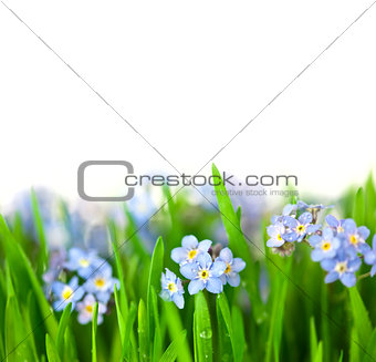 Small Blue Flowers into green Grass  / isolated on white backgro