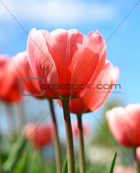 Beautiful spring tulips on blue sky
