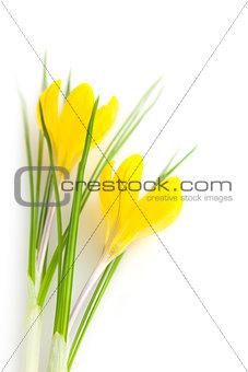 Beautiful Yellow Spring Flowers isolated  / Crocus