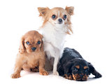 puppies cavalier king charles and chihuahua