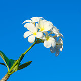 Frangipani, White flower on blue sky background