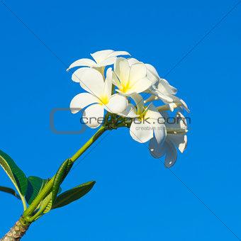 Frangipani, White flower on blue sky background