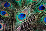 feather of a peacock