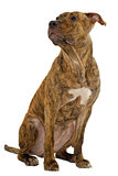 Staffordshire terrier dog