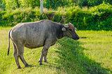 Thai buffalo