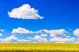 Field of yellow flowers with blue sky and white clouds