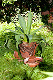 gardener repot green aloe vera plant in garden