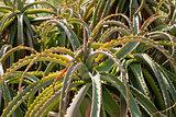 aloe vera cactus succulent plant outdoor