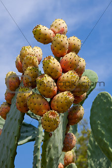 fresh tasty prickly pear on tree outside in summer