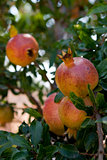 fresh ripe pomegranate tree outdoor in summer