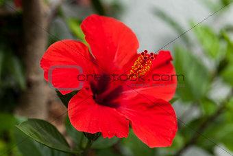 beautiful red hibiscus flower in summer outdoor
