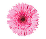 beautiful pink gerbera isolated on white