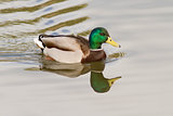 Mallard On The Water