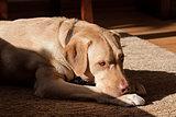 labrador dog in sunlight