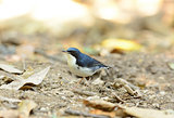 male Siberian Blue Robin (Luscinia cyane)