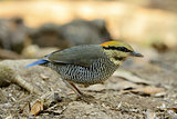 female Blue Pitta (Pitta cyanea)