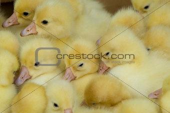 group of ducklings