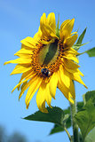 Single Sunflower on blue sky