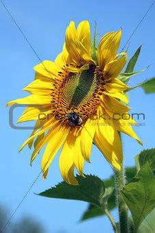 Single Sunflower on blue sky