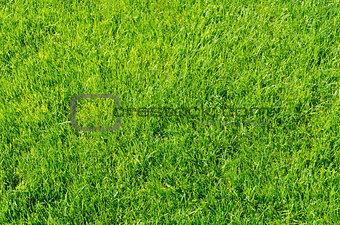 green grass as background